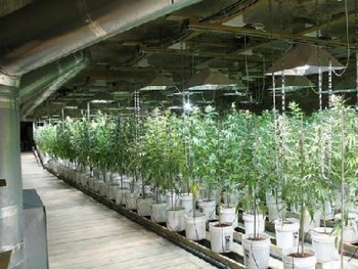 Grass is Not So Green: Marijuana Has a Huge Carbon Footprint